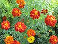 Tagetes (Studentenblume) - panoramio (1).jpg