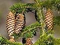 Talltita1-Picea abies detail.jpg