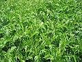 Tanacetum vulgare 3-eheep (5097406827).jpg