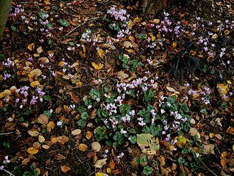 Cyclamen hederifolium - Cyclamen hederifolium naturalized in Belgium