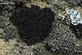 Tarpaper Lichen (3815608175).jpg