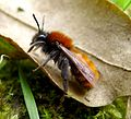 Tawny Mining Bee. Andrena fulva. Female - Flickr - gailhampshire.jpg
