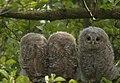 Tawny Owls (3) CROP (8401913221).jpg