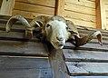 Taxidermied ram head 02.jpg