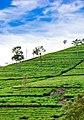 Tea Estate in Bandarawala.jpg