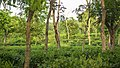 Tea garden at Rangapani tea estate.jpg