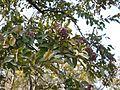 Terminalia paniculata Roth (15526388694).jpg