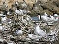 Terns at Woodman Spit, April 2021 02.jpg