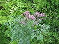 Thalictrum seedling.jpg