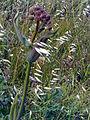 Thapsia villosa StemInflorescencePuertollano.jpg