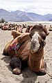 The Bactrian Camel of Nubra Valley.jpg