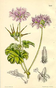 The Botanical Magazine. pl 7346. Pelargonium Drummondii.jpg