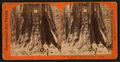 The Keystone State - Big Tree Grove, Calaveras County, by Lawrence & Houseworth 2.png