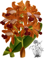 The Orchid Album-01-0050-0016-Cattleya guttata leopoldii-crop.png