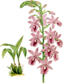 The Orchid Album-01-0095-0031-Calanthe veitchii-crop.png