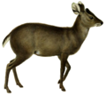 The deer of all lands (1898) Michie's tufted deer white background.png