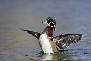 Wood duck - Wood duck