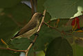 Thick-billed Flowerpecker (Dicaeum agile) on Helicteres isora W2 IMG 1361.jpg