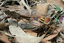 Photograph of two brown and black cicadas mating on fallen leaves