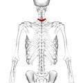 Thoracic vertebra 1 back2.png