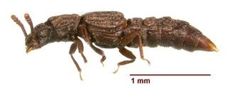 <i>Thoracophorus costalis</i> Species of beetle