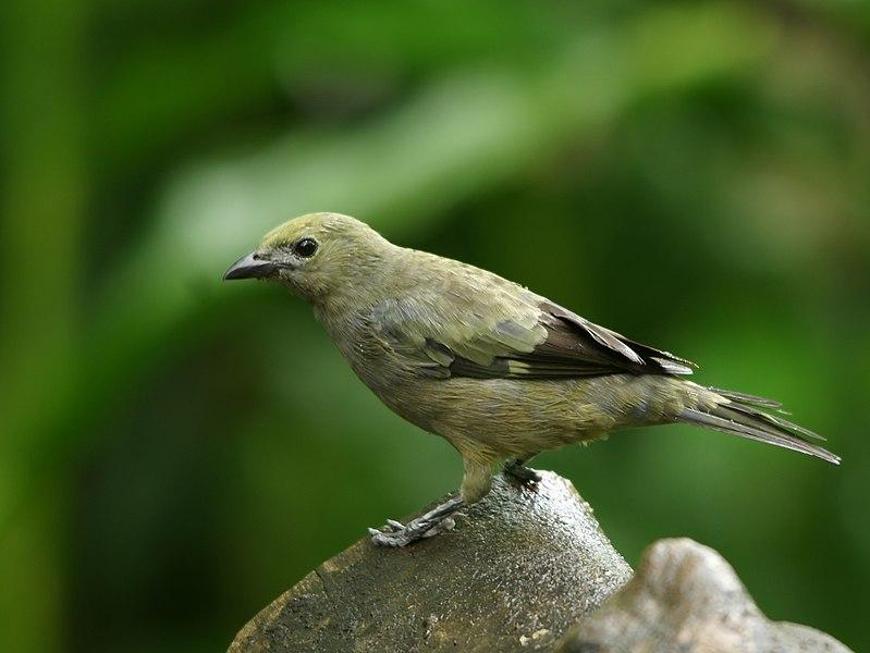 Ficheiro:Thraupis palmarum (Costa Rica).jpg