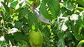 Thraupis sayaca feeding on guavas (2836757808).jpg