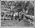 Three pack burros used in mining, California, ca.1900 (CHS-2053).jpg