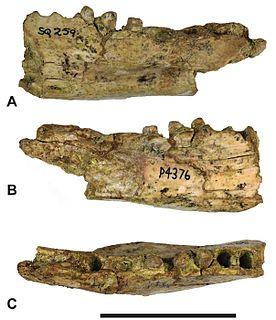 <i>Thylacinus megiriani</i>