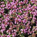 Thymus praecox ssp. ligusticus-IMG 3639.jpg