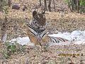 Tigerresting.jpg