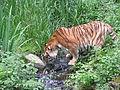 Tijger (Panthera tigris).jpg