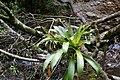 Tillandsia complanata (Bromeliaceae) (30159266870).jpg