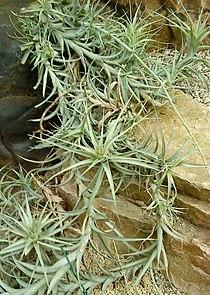 Tillandsia incarnata foliage.JPG
