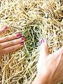 Timothy hay bleached (5910294866).jpg