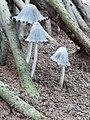 Tiny mushrooms under the mangroves.jpg