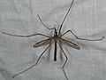 Tipula paludosa (36735040656).jpg