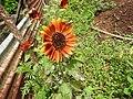Tithonia rotundifolia-1-sekar coffee-yercaud-salem-India.jpg