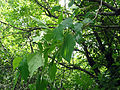 Toxicodendron radicans SCA-03135.jpg