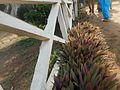 Tradescantia spathacea against a white fence.jpg