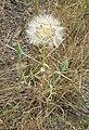 Tragopogon dubius 4.jpg