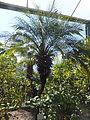 Trauttmansdorff gardens - Phoenix roebelenii.JPG