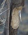 Tree Damaged by North American Beaver (Castor canadensis) - Kitchener, Ontario 02.jpg