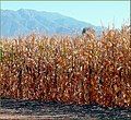 Tree Farm, Corn and Mountain 12-8-12a (8298287726).jpg