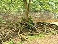 Tree roots near Aysgarth Upper Falls - geograph.org.uk - 771424.jpg