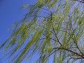 Trees in iran-qom city -پوشش گیاهی و درختان استان قم 17.jpg