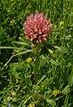 Trifolium pratense1.jpg