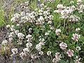 Trifolium repens Oulu, Finland 17.06.2013.jpg