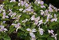Trillium grandiflorum 'Roseum' - Flickr - S. Rae.jpg