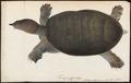 Trionyx japonicus - 1700-1880 - Print - Iconographia Zoologica - Special Collections University of Amsterdam - UBA01 IZ11600161.tif